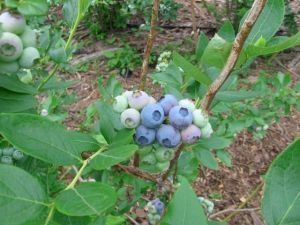 Cluster of ripening blueberries at Green Gate Family Farm Orchard