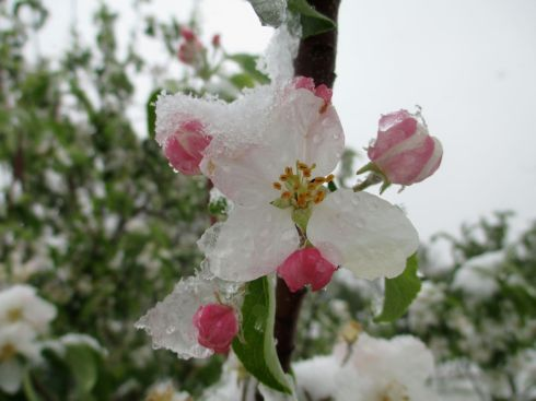 May Snow on Blossom