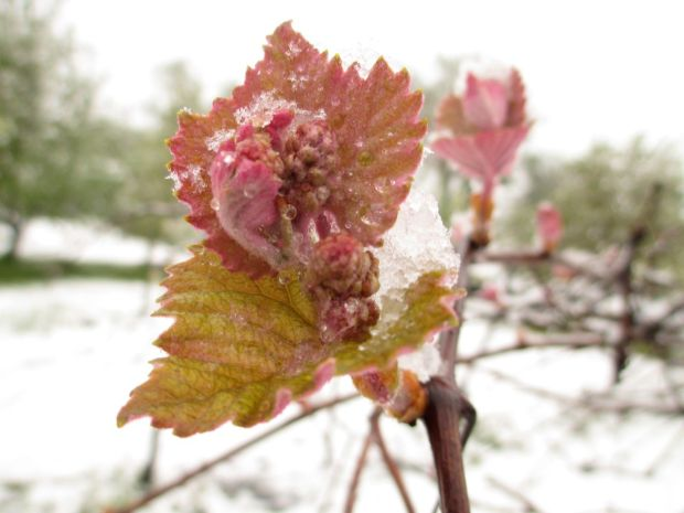 Grape cluster in the snow